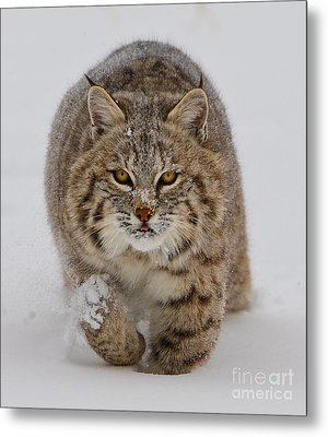 Bobcat Running Forward Metal Print by Jerry Fornarotto