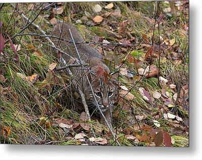 Bobcat Stalking Metal Print