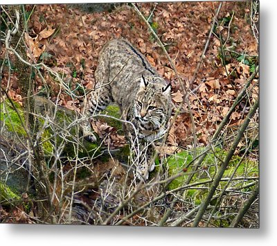 Metal Print featuring the photograph Bobcat by William Tanneberger
