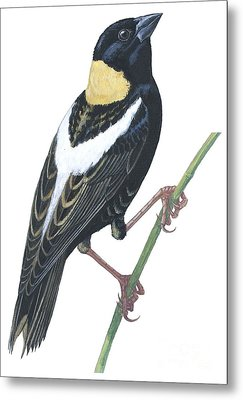 Bobolink Metal Print by Anonymous