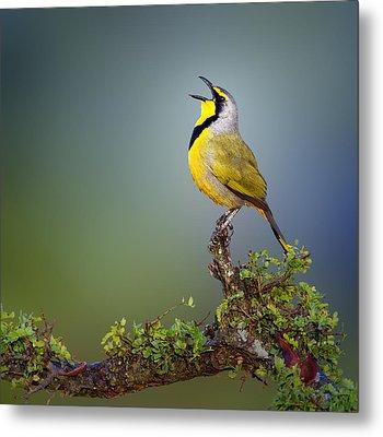 Bokmakierie Bird - Telophorus Zeylonus Metal Print by Johan Swanepoel
