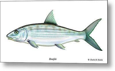 Bonefish Metal Print by Charles Harden