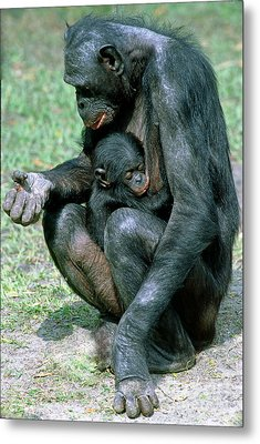 Bonobo Pan Paniscus Nursing Metal Print by Millard H. Sharp