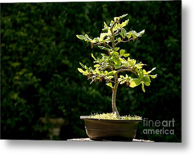 Bonsai Metal Print by Jane Rix
