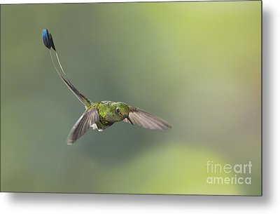 Metal Print featuring the photograph Booted Racket-tail Hummingbird by Dan Suzio