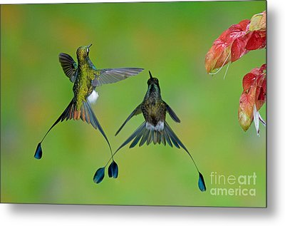 Booted Racket-tail Hummingbird Males Metal Print by Anthony Mercieca