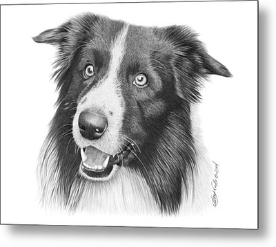 Border Collie -030 Metal Print by Abbey Noelle