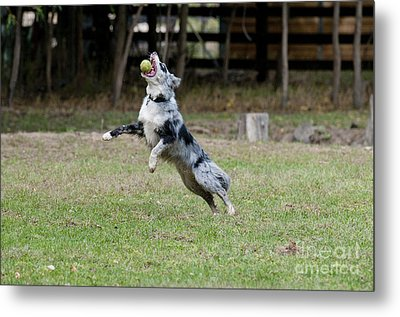 Border Collie Catching A Ball Metal Print
