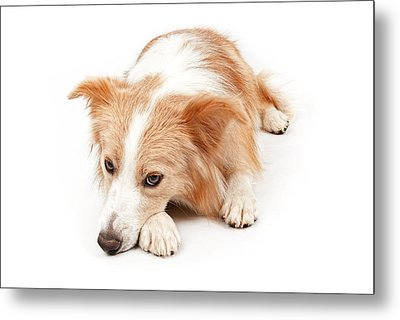 Border Collie Dog Laying Down  Metal Print by Susan Schmitz