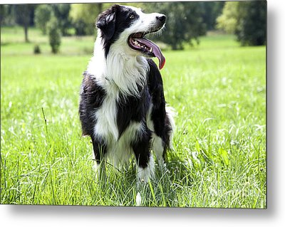 Border Collie In The Nature Metal Print by Regina Koch