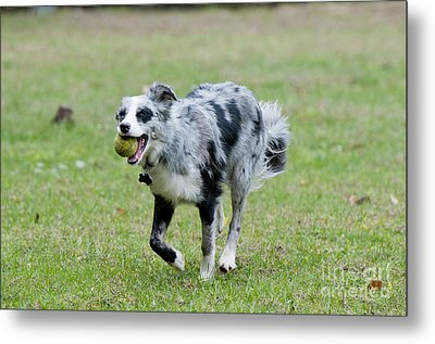 Border Collie Retrieving A Ball Metal Print