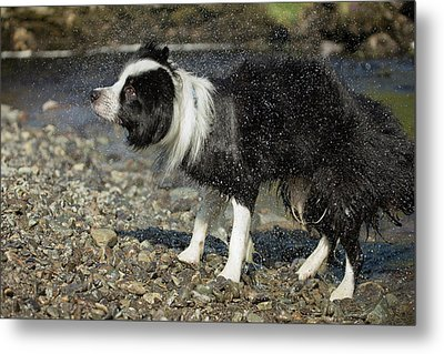 Border Collie Shaking Dry After Swimming Metal Print by Simon Booth