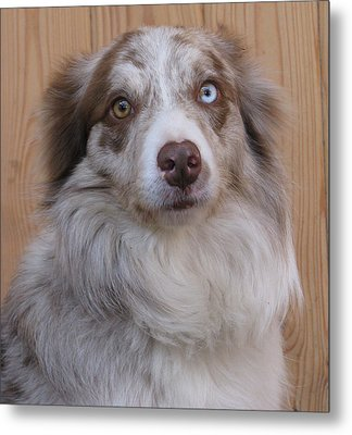 Border Collie With Blue-eyed Metal Print