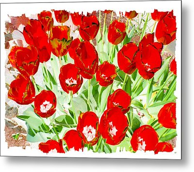 Bordered Red Tulips Metal Print by Will Borden