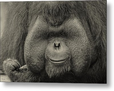 Bornean Orangutan II Metal Print by Lourry Legarde
