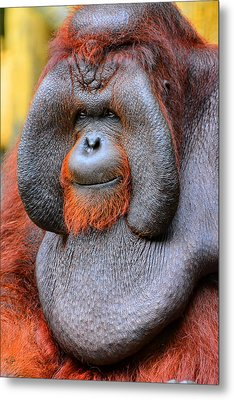 Bornean Orangutan Iv Metal Print by Lourry Legarde
