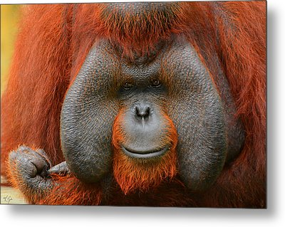 Bornean Orangutan Metal Print by Lourry Legarde