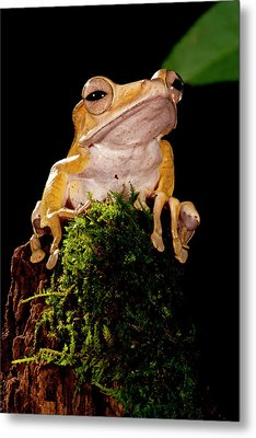 Borneo Eared Frog, Polypedates Metal Print