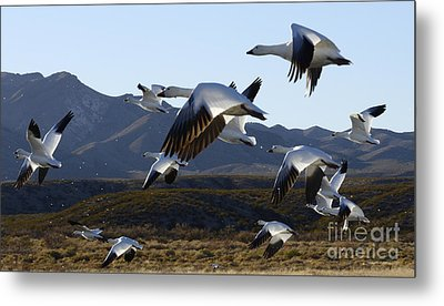 Bosque Del Apache Snow Geese In Flight Metal Print by Bob Christopher