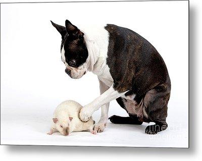Boston Terrier & Mink Rat Metal Print by Jean-Michel Labat