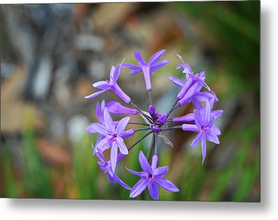 Botanical Art Print - Tiny Dancers By Sharon Cummings Metal Print by Sharon Cummings
