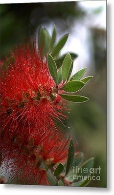Bottlebrush In Red Metal Print by Joy Watson