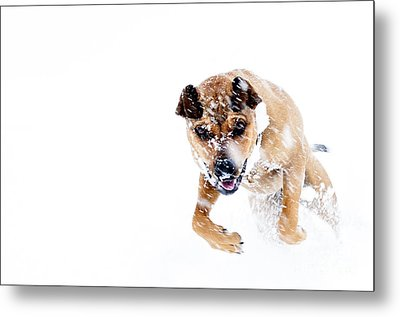 Bounding In Snow Metal Print by Thomas R Fletcher
