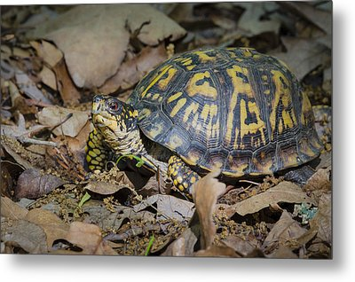 Box Turtle Sunning Metal Print by Bradley Clay