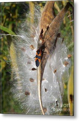 Boxelder On Butterfly Milkweed 2 Metal Print