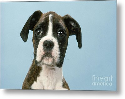 Boxer Dog, Close-up Of Head Metal Print by John Daniels
