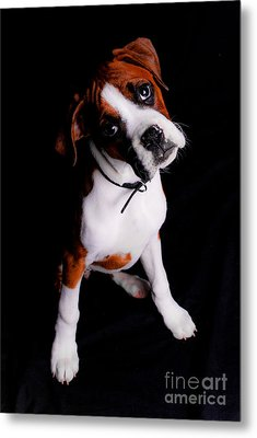 Boxer Pup Metal Print by Jt PhotoDesign