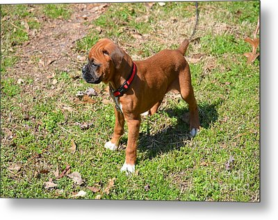 Boxer Puppy 2 Metal Print by Maria Urso