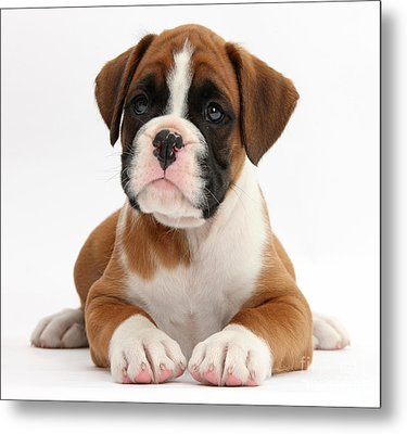 Boxer Puppy Metal Print by Mark Taylor