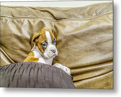 Boxer Puppy On Couch Metal Print by Tony Moran