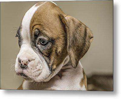 Boxer Puppy Metal Print by Tony Moran