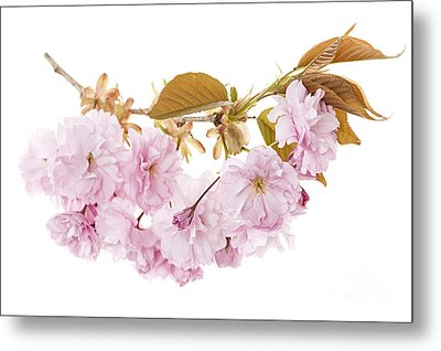Branch With Cherry Blossoms Metal Print by Elena Elisseeva