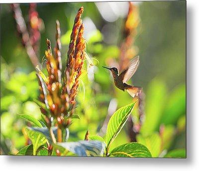 Brazilian Ruby Hummingbird, Clytolaema Metal Print