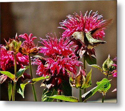 Metal Print featuring the photograph Breakfast At The Bee Balm by VLee Watson