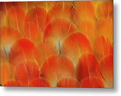 Breast Feathers Of The Camelot Macaw Metal Print by Darrell Gulin