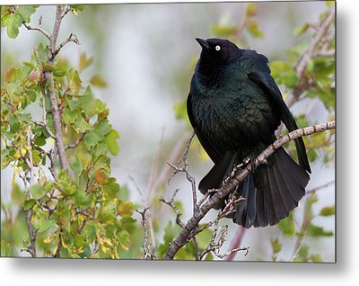 Brewer's Blackbird Displaying Metal Print by Ken Archer