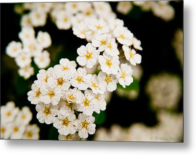 Bridal Veil Spirea Metal Print by Brenda Jacobs