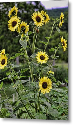 Bright Sunflowers Metal Print by Denise Romano