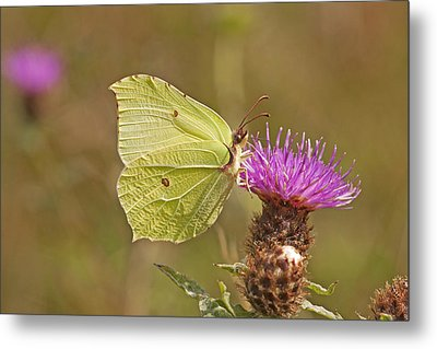 Brimstone On Creeping Thistle Metal Print by Paul Scoullar