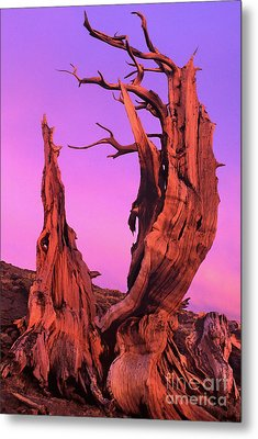 Metal Print featuring the photograph Bristlecone Pine At Sunset White Mountains Californa by Dave Welling