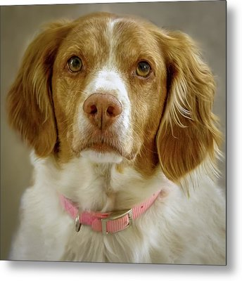 Brittany Portrait Metal Print by Bradley Clay