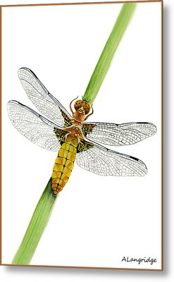 Broad-bodied Chaser Yellow Dragonfly Metal Print by Alison Langridge