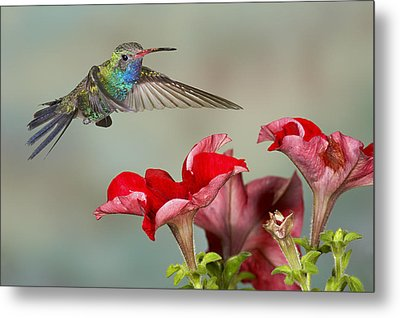 Broad Billed Hummingbird 4 Metal Print