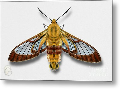 Broad-bordered Bee Hawk Moth Butterfly - Hemaris Fuciformis Naturalistic Painting -nettersheim Eifel Metal Print