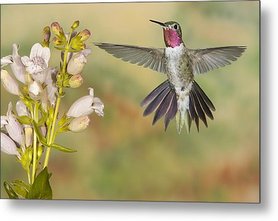 Broad Tailed Hummingbird 2 Metal Print