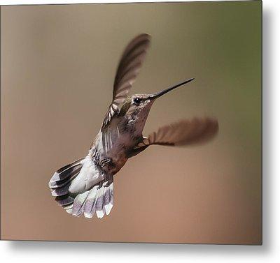 Broad-tailed Hummingbird 2 Metal Print by Lee Kirchhevel